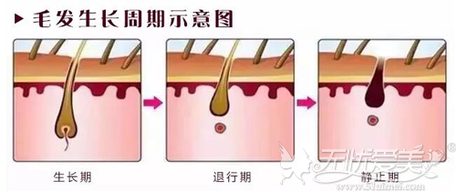 毛发生长周期