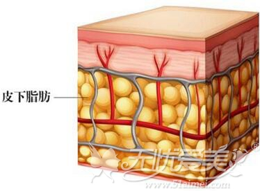 皮下脂肪细胞的结构