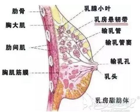 乳房部位分析图