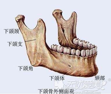 下颌角的位置结构图