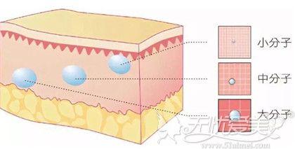 玻尿酸大小分子在人体皮肤层的位置