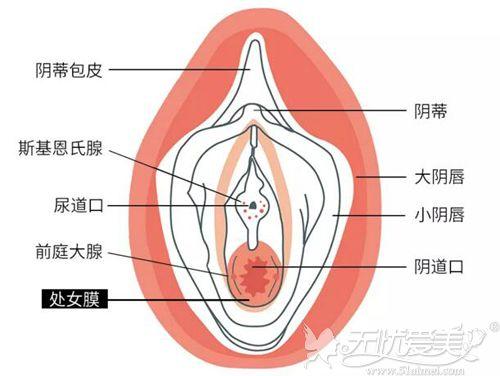 处女膜的位置