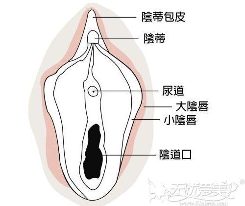女性阴部的位置