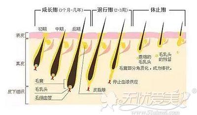 我们腋毛的生长周期