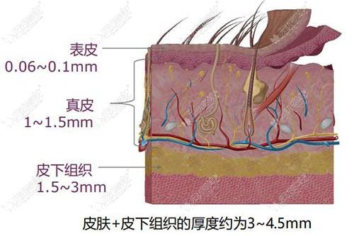 皮肤各组织